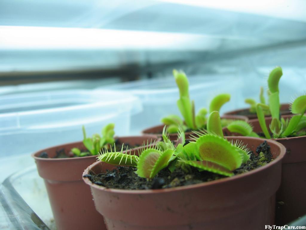 Venus Flytrap Care Basics Grow Venus Flytraps Flytrapcare Com