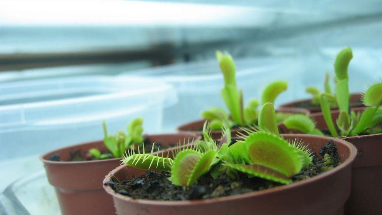 Venus Flytrap Lighting Requirements Flytrapcare Com