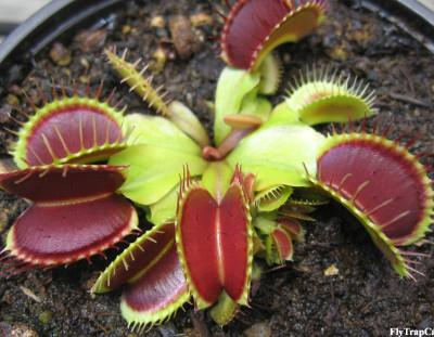 Venus Fly Trap Care Basics