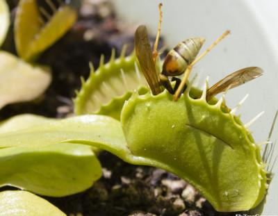 Feeding Venus Fly Traps!