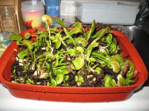 A container full of Venus Fly Traps!