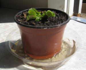 Venus Fly Trap in water tray