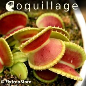 Coquillage Venus Fly Trap