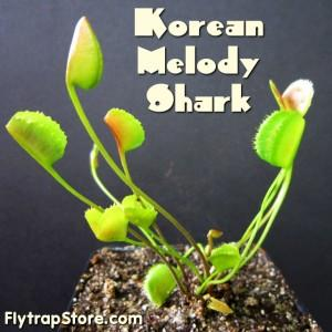 Korean Melody Shark Venus Fly Trap