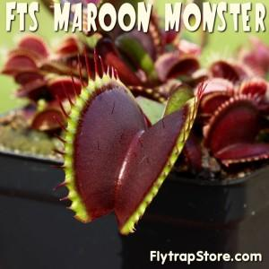 FTS Maroon Monster Venus Fly Trap