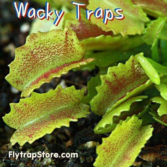 operation fly trap The venus flytrap, a small perennial herb, is one of the most widely recognized  carnivorous plant species on earth it occupies distinct longleaf.