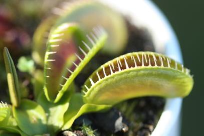 Venus Fly Trap Cultivated Varieties