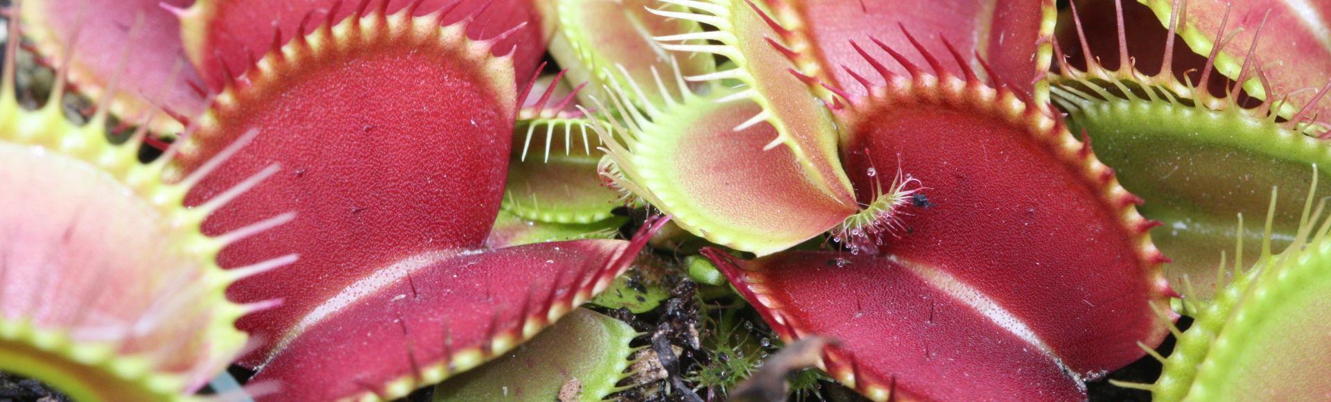 pitcher plant 3d