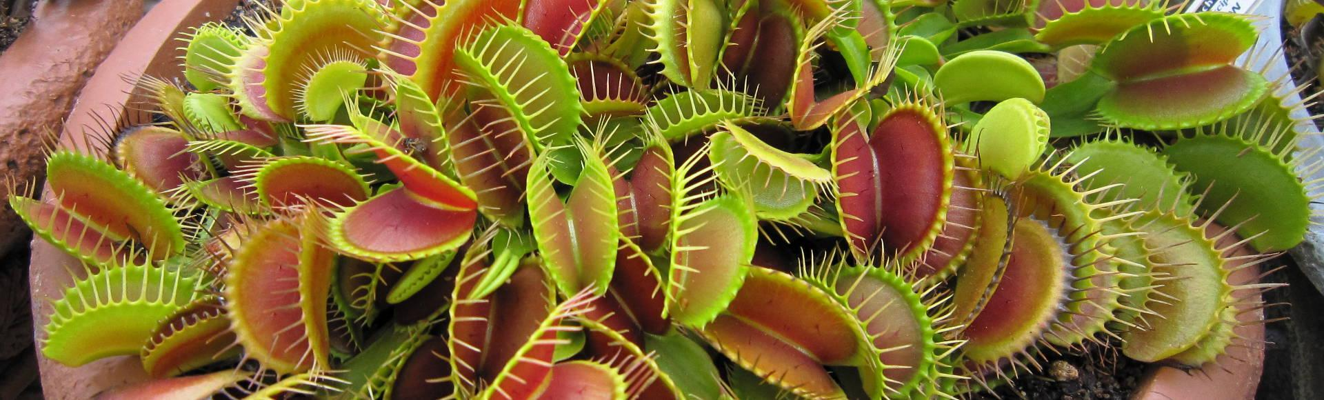 venus fly trap Charles darwin wrote in his 1875 publication, insectivorous plants, that the  venus flytrap is one of the most wonderful [plants] in the world.