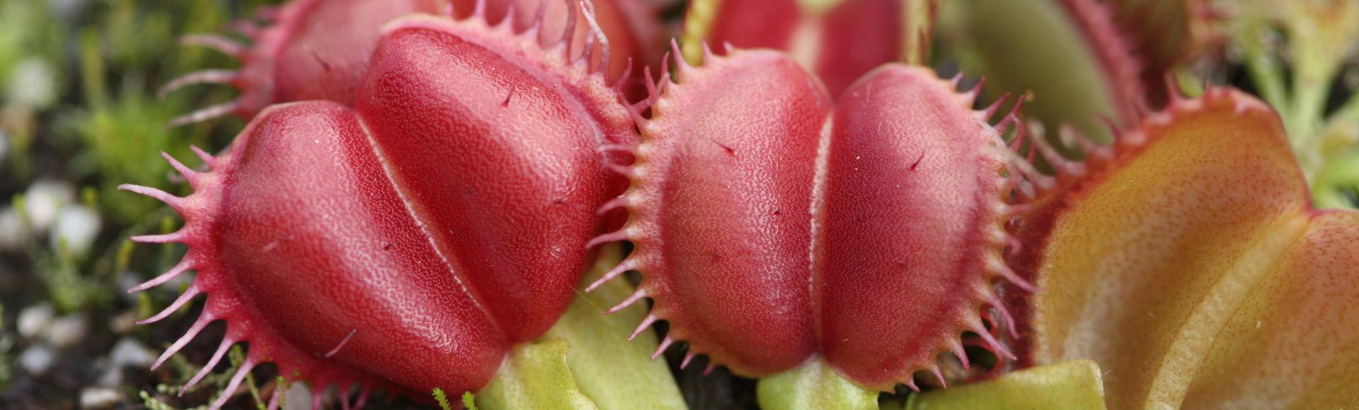 Buy Venus Fly Traps from the FlytrapStore!