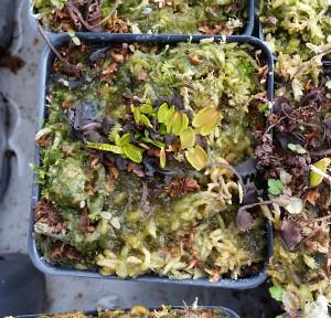 A Venus fly trap that has been a little too wet for too long and now has algae growth on the surface of the soil